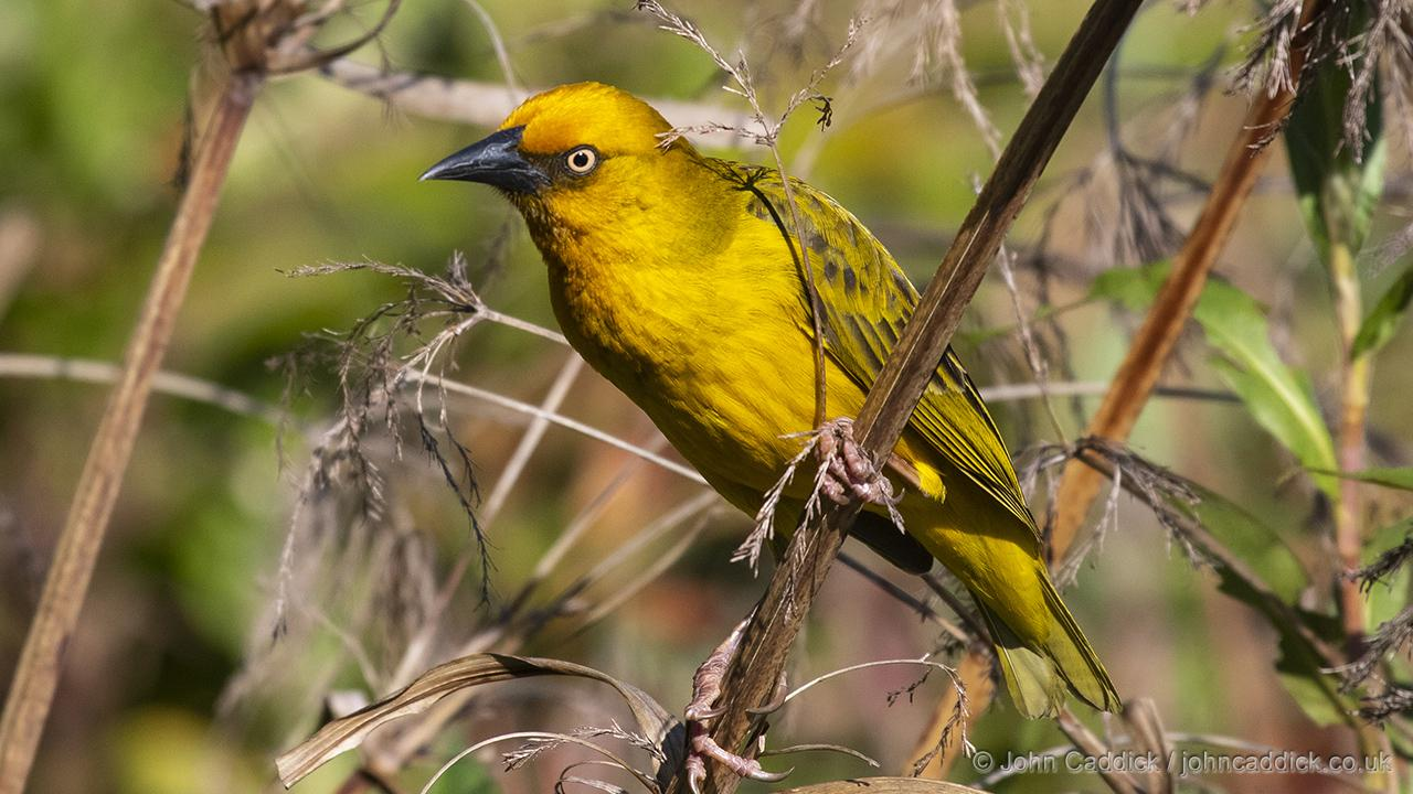 Cape Weaver adult male