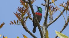 Southern Double-collared Sunbird male
