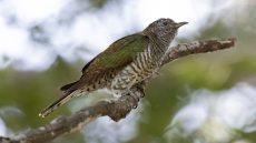 African Emerald Cuckoo female