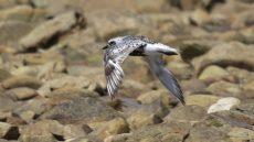 Grey Plover non-breeding