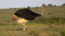 Common Ostrich adult male