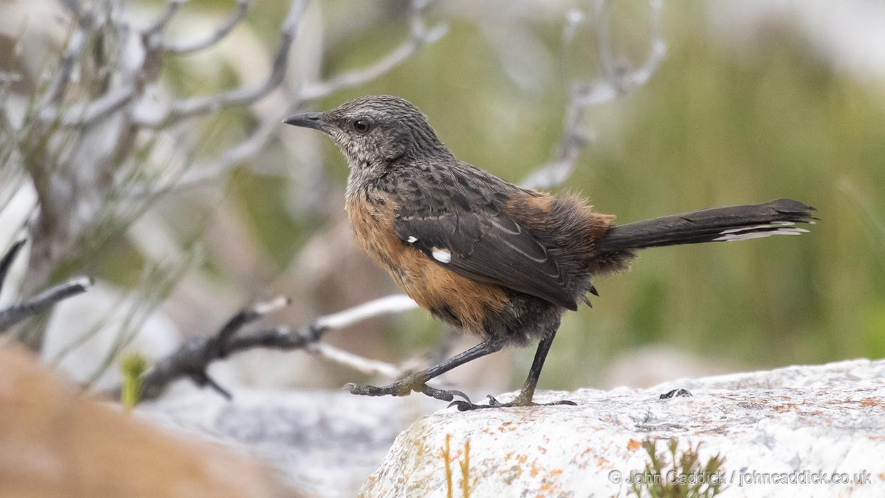 Cape Rockjumper juvenile