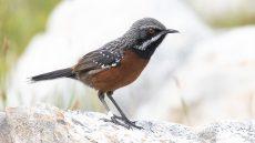 Cape Rockjumper male