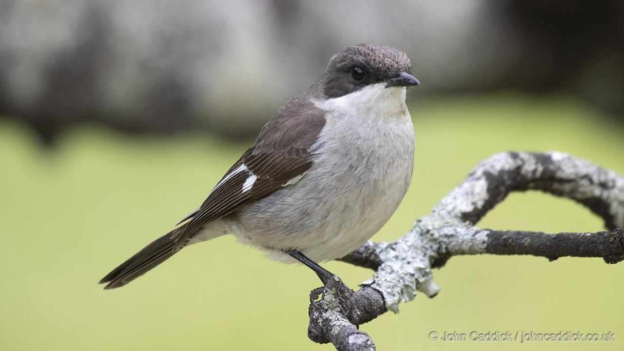 Fiscal Flycatcher female