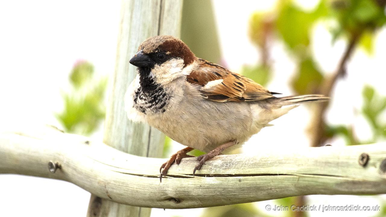 House Sparrow adult male