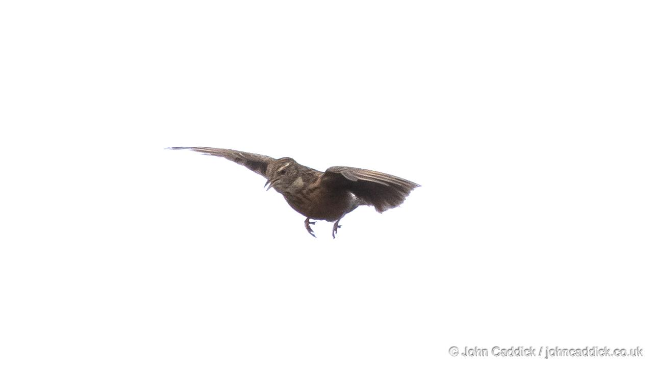 Cape Clapper Lark display flight