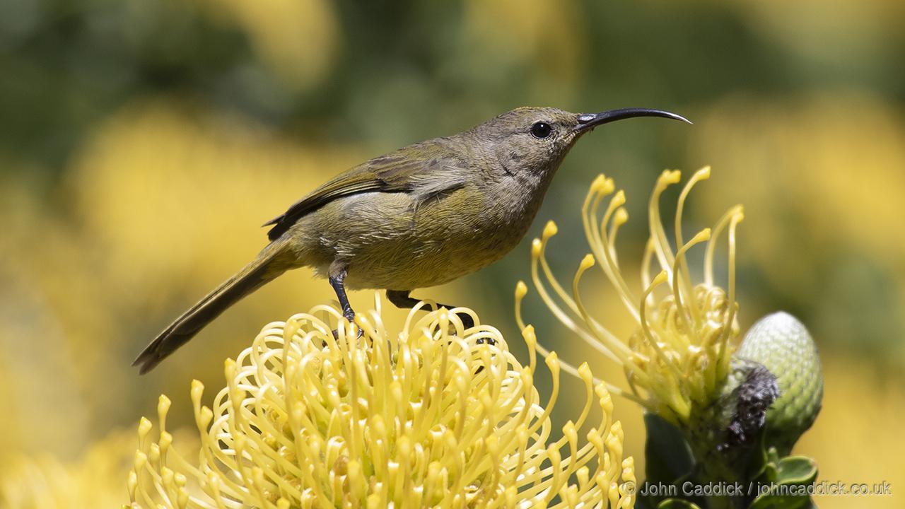 Orange-breasted Sunbird female