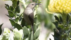 Southern Double-collared Sunbird female