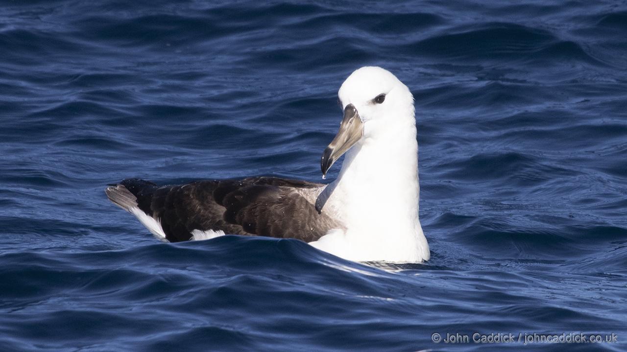 Black-browed Albatross juvenile