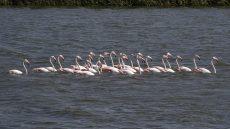 Greater Flamingo flock