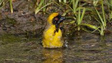 Southern Masked Weaver adult male