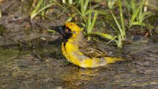Southern Masked Weaver male
