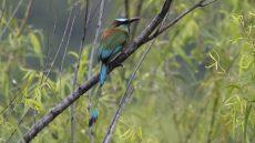 Torquoise-browed Motmot