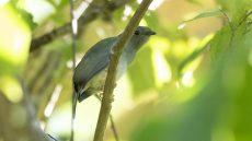 Long-tailed Manakin female
