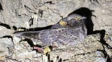 Buff-collared Nightjar