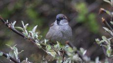 House Sparrow male
