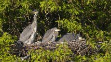 Grey Herons in the nest