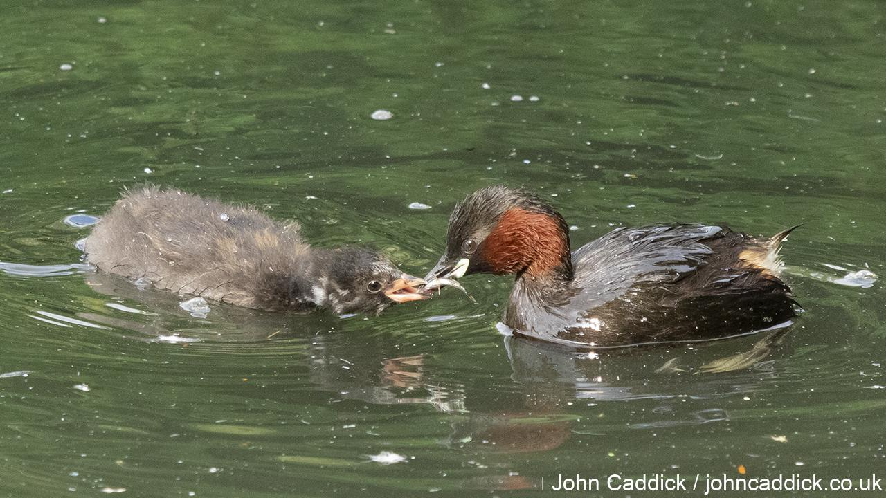 Little Grebe juvenile being fed