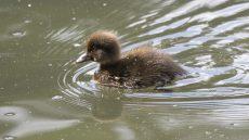 Tufted Duck juvenile