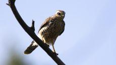 Roadside Hawk juvenile