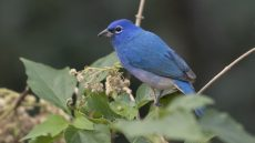 Rose-bellied Bunting male