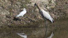 Wood Stork immature with Snowy Egret