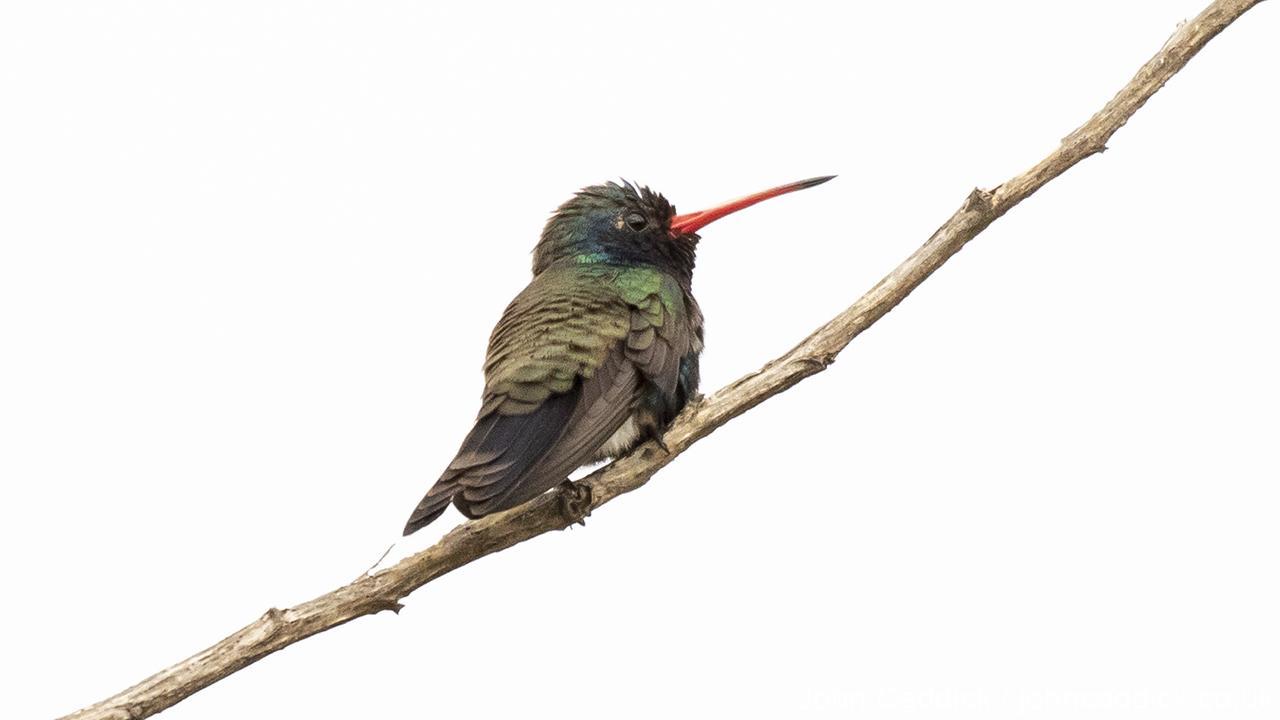 Doubleday's Hummingbird