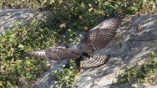 Great Black Hawk juvenile