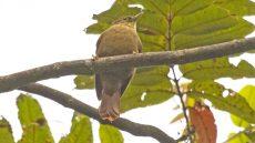 Scaly-throated Foliage-Gleaner