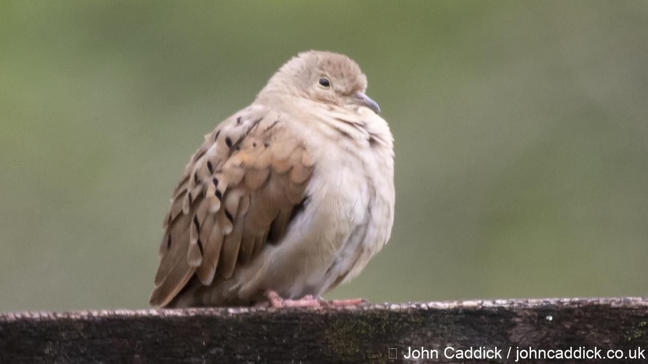 Ruddy Ground Dove female