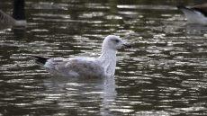 European Herring Gull third winter