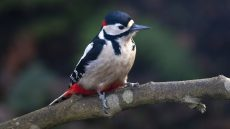 Great Spotted Woodpecker adult male
