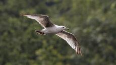 European Herring Gull second year