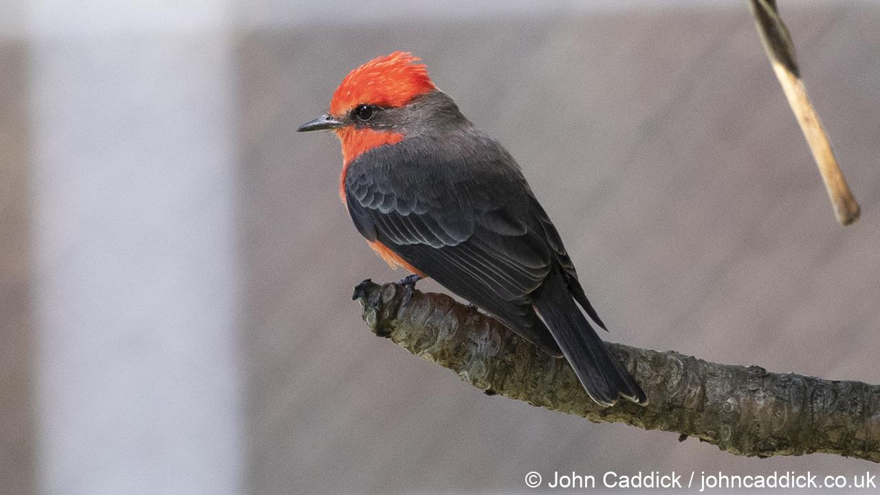 Vermilion Flycatcher male