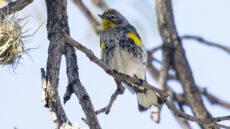 Audubon's Warbler female