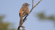 Bridled Sparrow