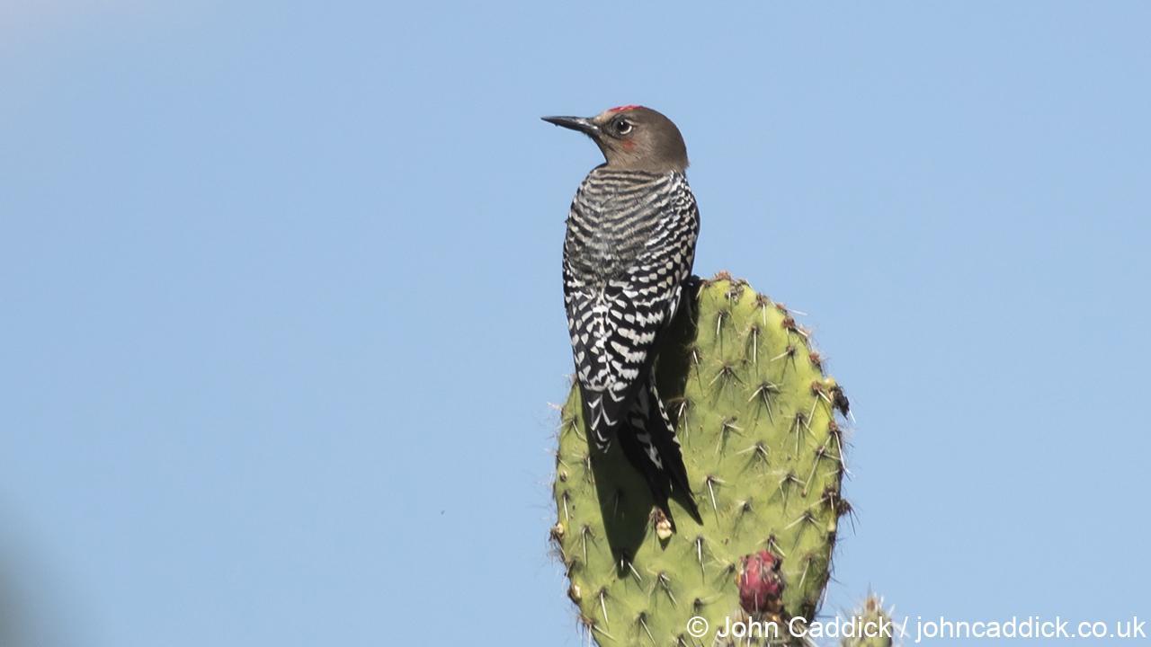 Grey-breasted Woodpecker male