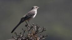 Tropical Mockingbird