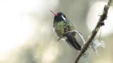 White-eared Hummingbird