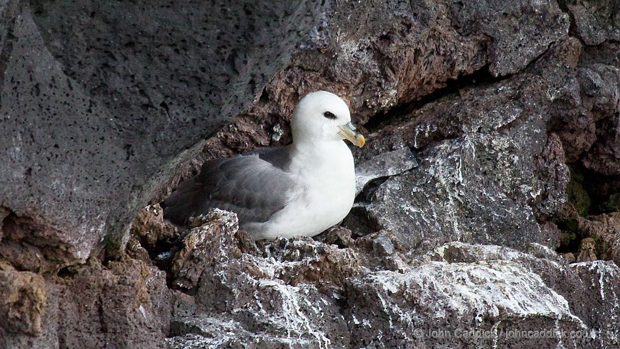 Northern Fulmar on nest