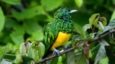 African Emerald Cuckoo adult male