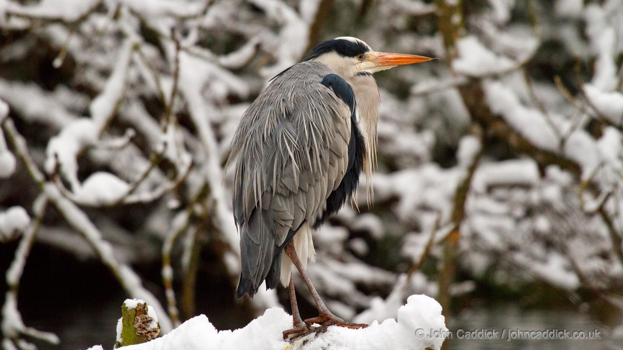 Grey Heron adult