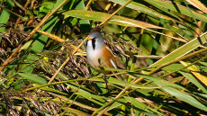 Bearded Reedling adult male