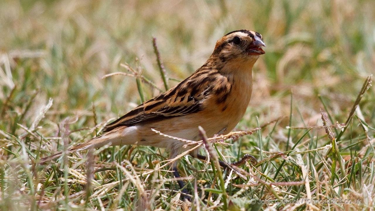Pin-tailed Whydah adult female