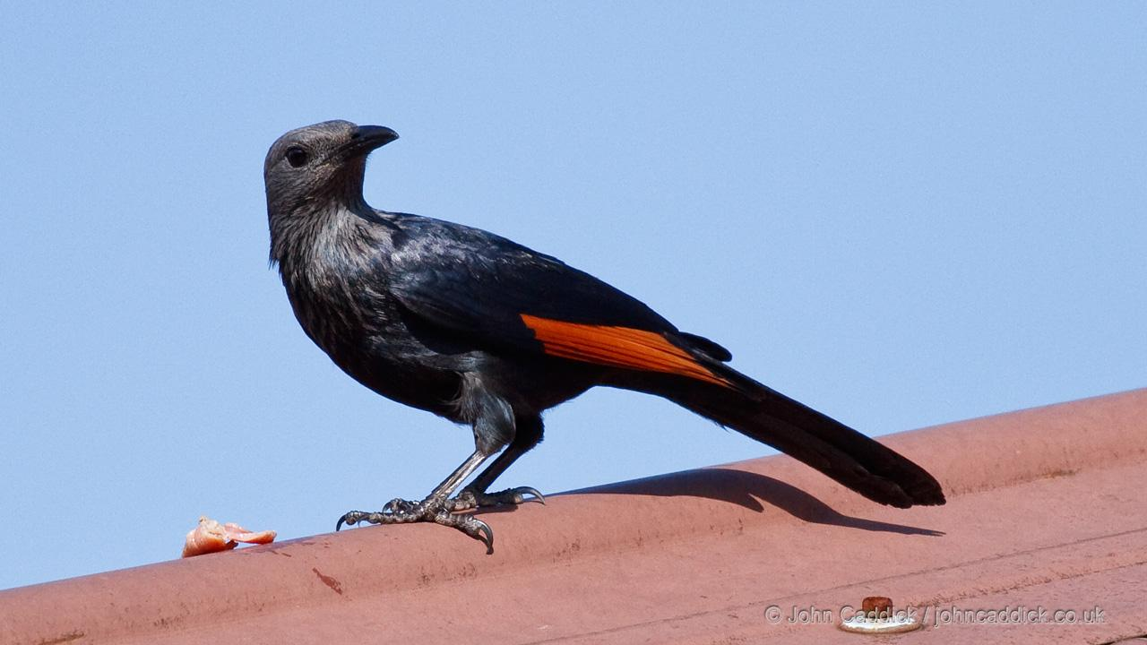 Red-winged Starling adult female