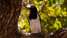 Hooded Butcherbird