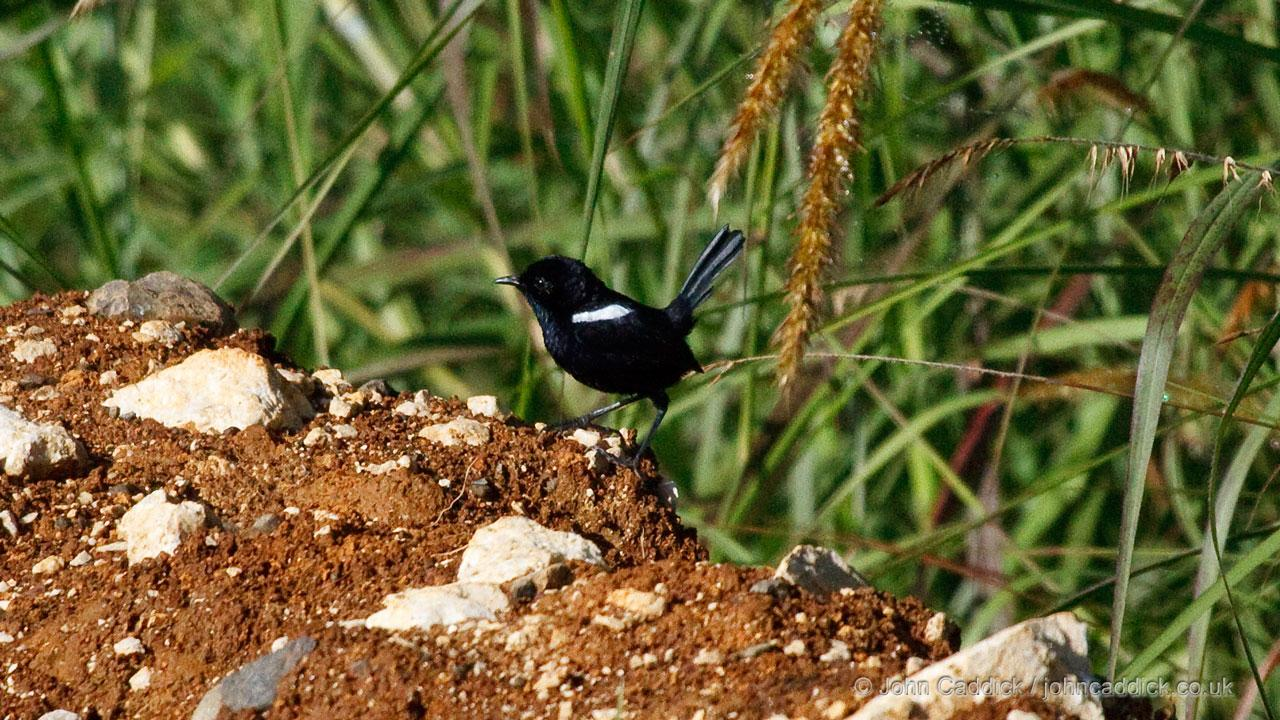 White-shouldered Fairywren