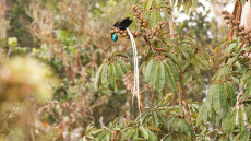 Ribbon-tailed Astrapia adult male