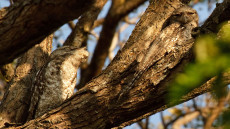 Papuan Frogmouth pair