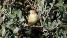 Willow Warbler juvenile